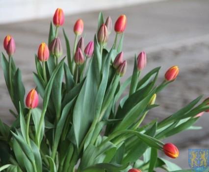 Święto Tulipanów 2017 niedziela (2)