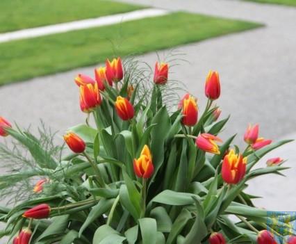 Święto Tulipanów 2017 niedziela (27)