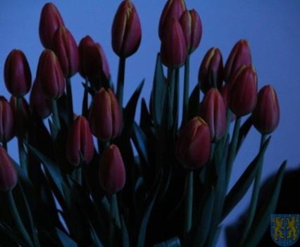 Święto Tulipanów 2017 niedziela (306)
