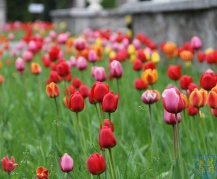 Święto Tulipanów 2017 niedziela (93)