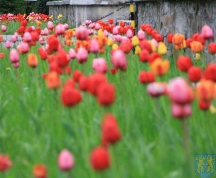 Święto Tulipanów 2017 niedziela (94)