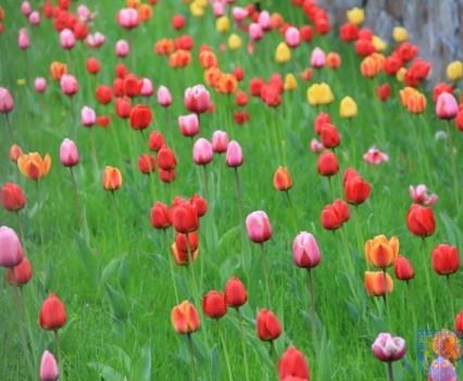 Święto Tulipanów 2017 niedziela (98)