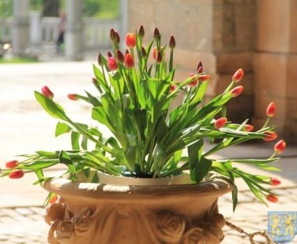 Święto Tulipanów 2017 sobota (108)