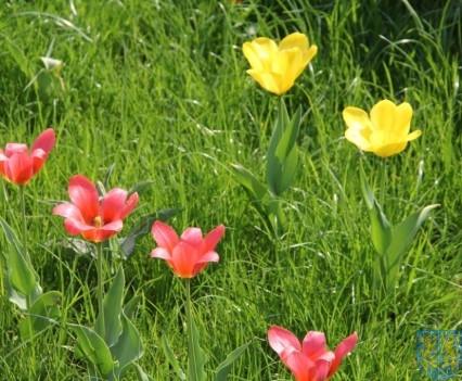 Święto Tulipanów 2017 sobota (14)