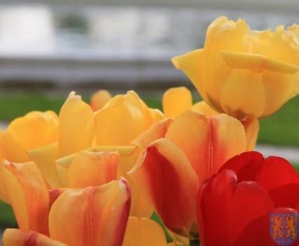 Święto Tulipanów 2017 sobota (140)