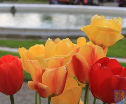 Święto Tulipanów 2017 sobota (141)