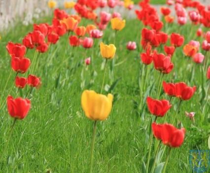 Święto Tulipanów 2017 sobota (19)