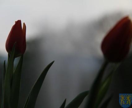 Święto Tulipanów 2017 sobota (206)