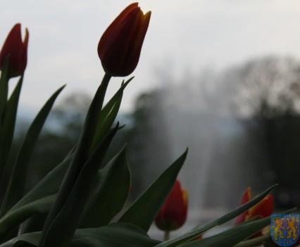 Święto Tulipanów 2017 sobota (207)