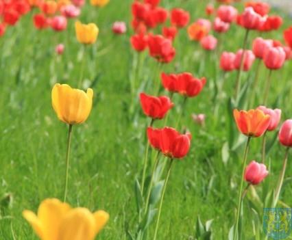 Święto Tulipanów 2017 sobota (21)