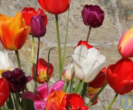 Święto Tulipanów 2017 sobota (3)