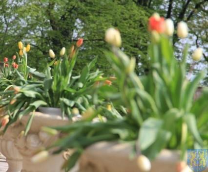 Święto Tulipanów 2017 sobota (31)