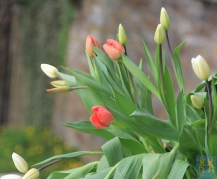 Święto Tulipanów 2017 sobota (33)