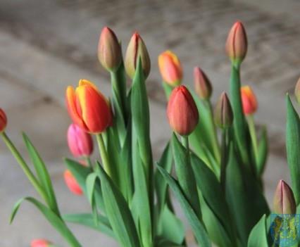Święto Tulipanów 2017 sobota (90)